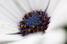 closeup of marguerite flower