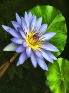 pale blue lotus with bright green leaves