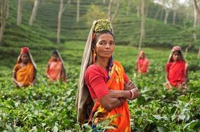 women in bright dresses collect tea leaves in India