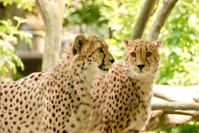 Cheetahs in the national park in Kenya, Africa