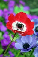 Red poppy on a background of blue flowers