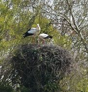 rattle storks in the nest