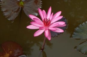 flower water lily