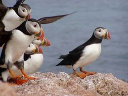 atlantic puffins in the wildlife
