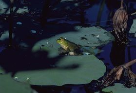 frog sitting on a lily leaf in a pond