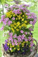 flower plant with purple and yellow flowers