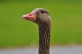 photo of a brown goose with a red beak