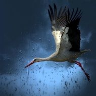 A stork flies over a field in the rain