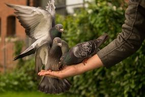 pigeon hand person feeding wings