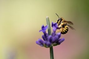 A bee pollinates a blue flower