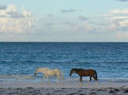 horses walking on the beach