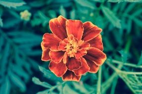 Orange marigold flower burgundy green macro photo