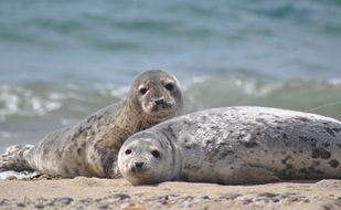 two spotted seals are resting on the shore