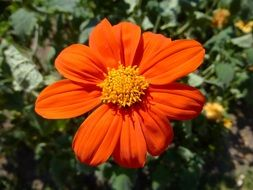 v orange color flower