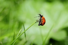 ladybug on a green blade of grass closeup