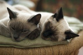 cats cat animals pet grey cute