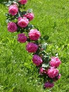 long green branch with blooming pink roses