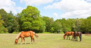 chestnut horses grazing near forest scene