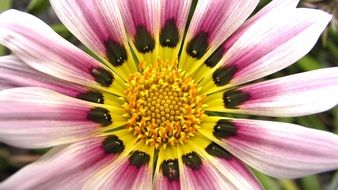 Gazania is a kind of aster