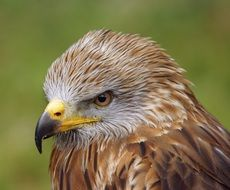 bird of prey buzzard