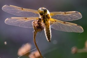 yellow dragonfly with transparent wings