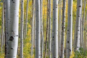 Birch trees in the beautiful forest