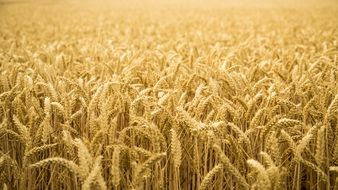 amazing golden wheat field