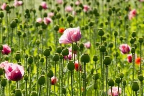 pink poppy flowers grow in a meadow