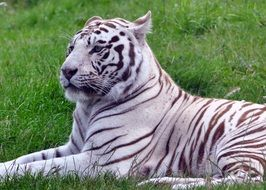 white tiger on green grass close-up