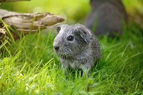 wonderful guinea pig