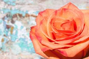 Lush decorative rose closeup