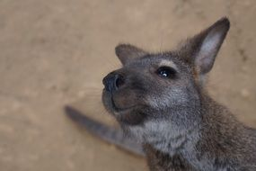 wallaby in wildlife of australia