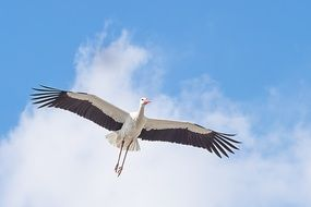 animal portrait of flying white stork in the sky
