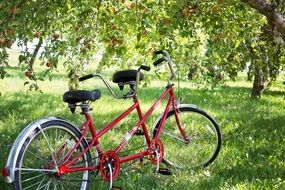 tandem bicycle under apples tree