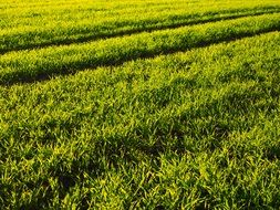 sown green field