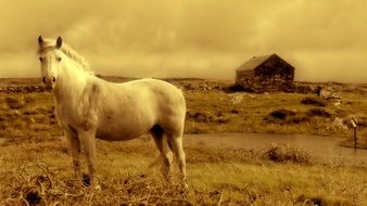 white horse on a farm in Ireland