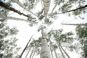 birch forest bottom view