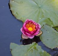 pink water lily flower on the leaves