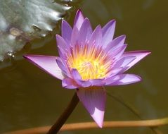 pink water lily on the background of the lake
