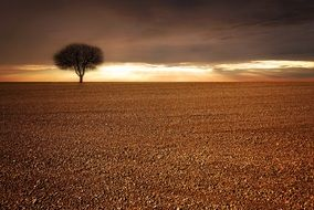 lonely tree on a golden cereal field against a sunset
