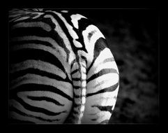 wild zebra striped back