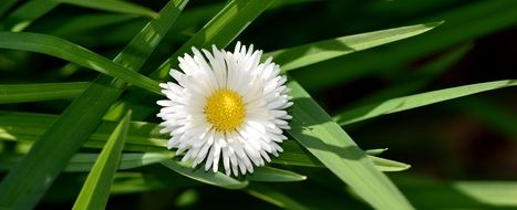 daisy bloom on the background of green leaves