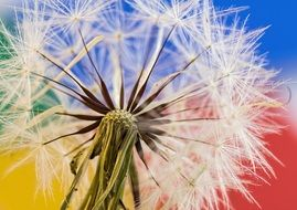 dandelion seeds on a colorful background