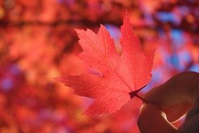 red autumn maple leaf in fingers at blurred background