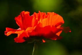 red poppy flower blossom