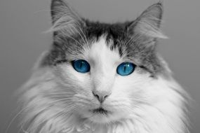 domestic cat with blue eyes