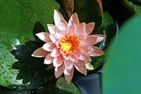 gently pink lotus flower in the pond