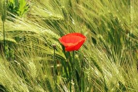 picture of the poppy is in a cornfield