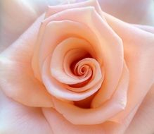 pale lush rose close-up