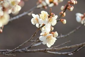 white flowers on a plum tree